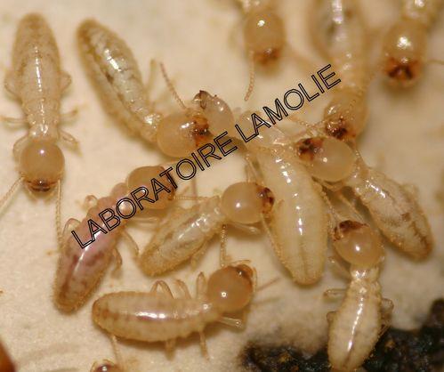 laboratoire lamolie traitements termites d ratisation d sinfection d sinsectisation bordeaux c. Black Bedroom Furniture Sets. Home Design Ideas